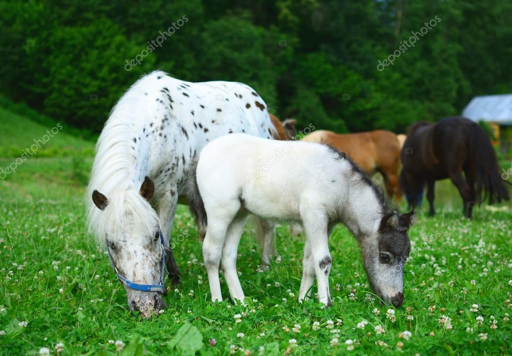 Two mini horses Falabella, mare and foal, graze on meadow, selec