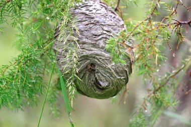 Huge grey papery social wasp's nest