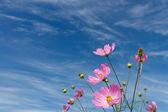 Kozmosz virág, és az ég