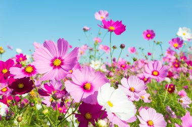 "Картина, постер, плакат, фотообои ""цветы космоса цветы"", артикул 33937471"