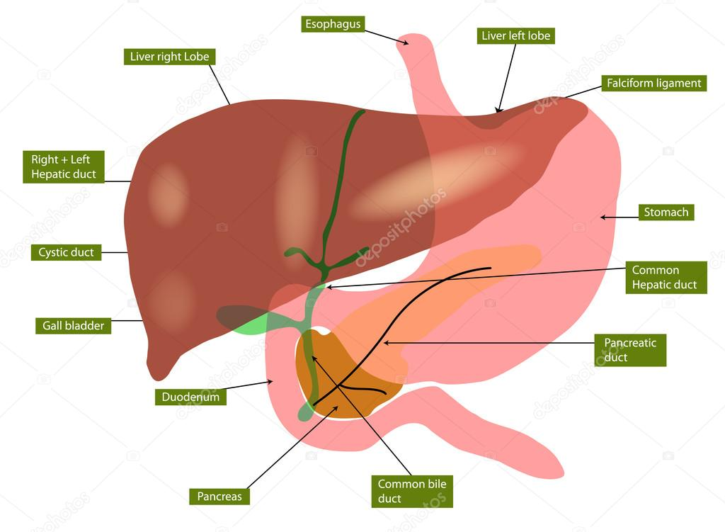 Anatomie der Leber und Gallenblase — Stockvektor © xprmntl #19946149