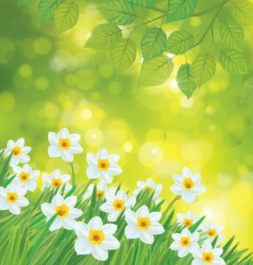 Daffodil flowers on spring background.