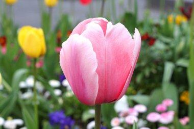 Pink  tulip in garden.