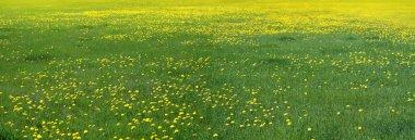 Dandelions flowers field.