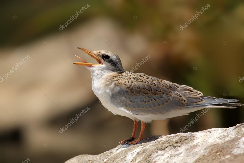 River Tern bird's Chick