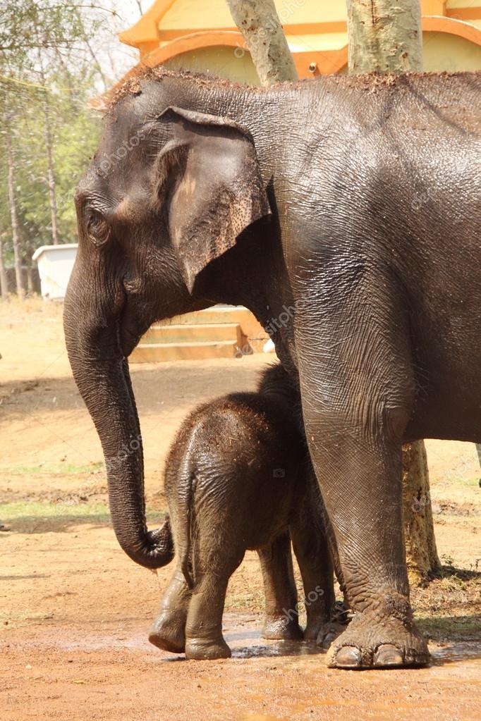 Mother elephant securing baby elephant
