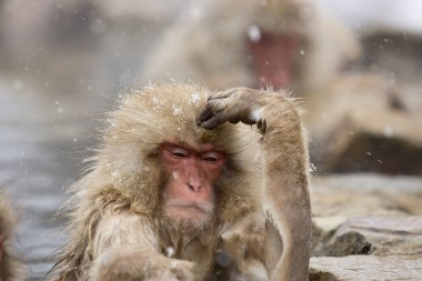 Thinking Snow Monkey