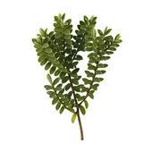 čerstvá zelená větvička