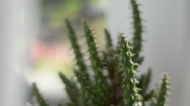 hrnec kaktus