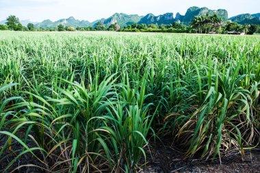 Sugarcane farm
