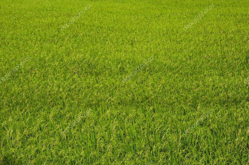 Rice farm background