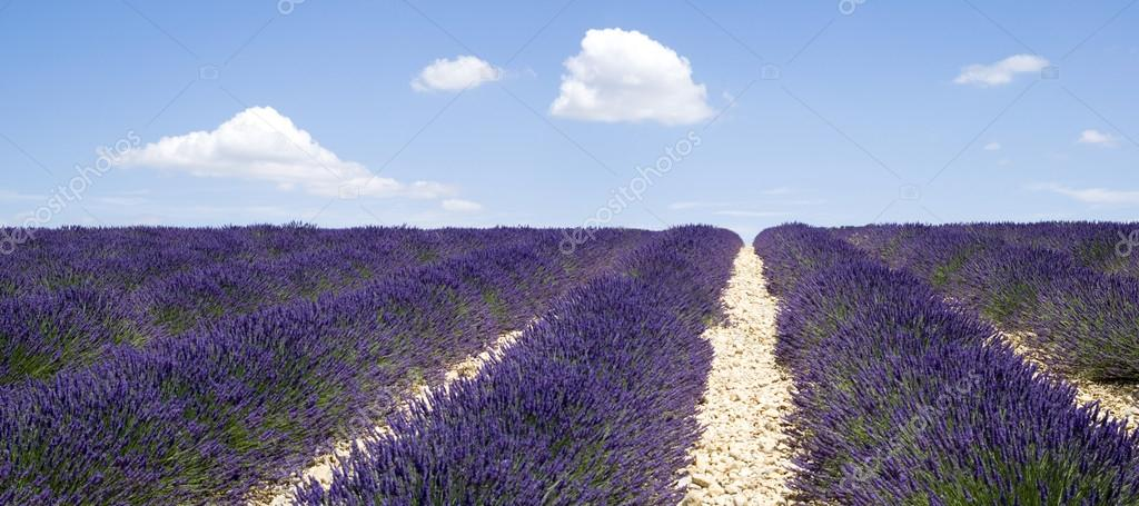 Lavender fields, Valensole, France