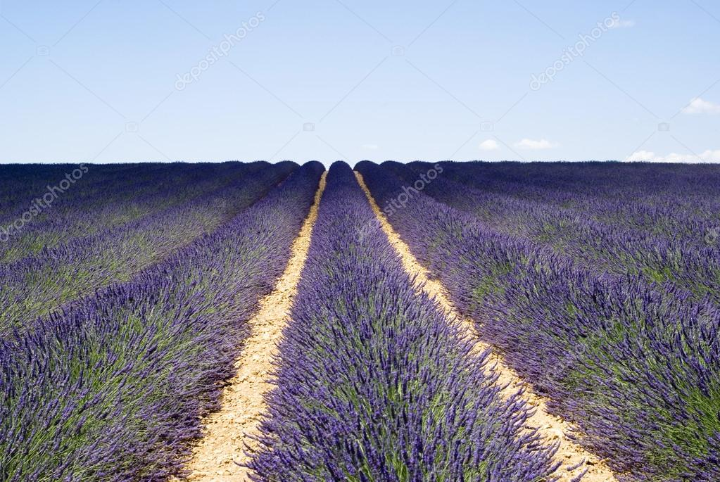 The famous lavender fields in the plateau Valensole