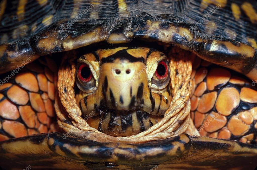 Eastern Box Turtle Head-On