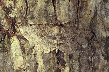 Brown moth camouflaged on tree bark