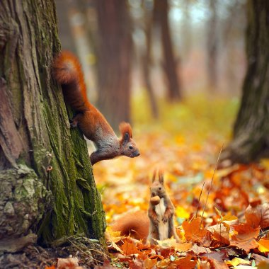 Red funny squirrels