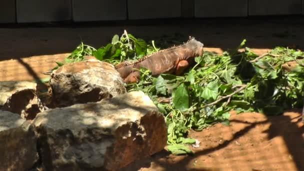 Leguán jíst trávu