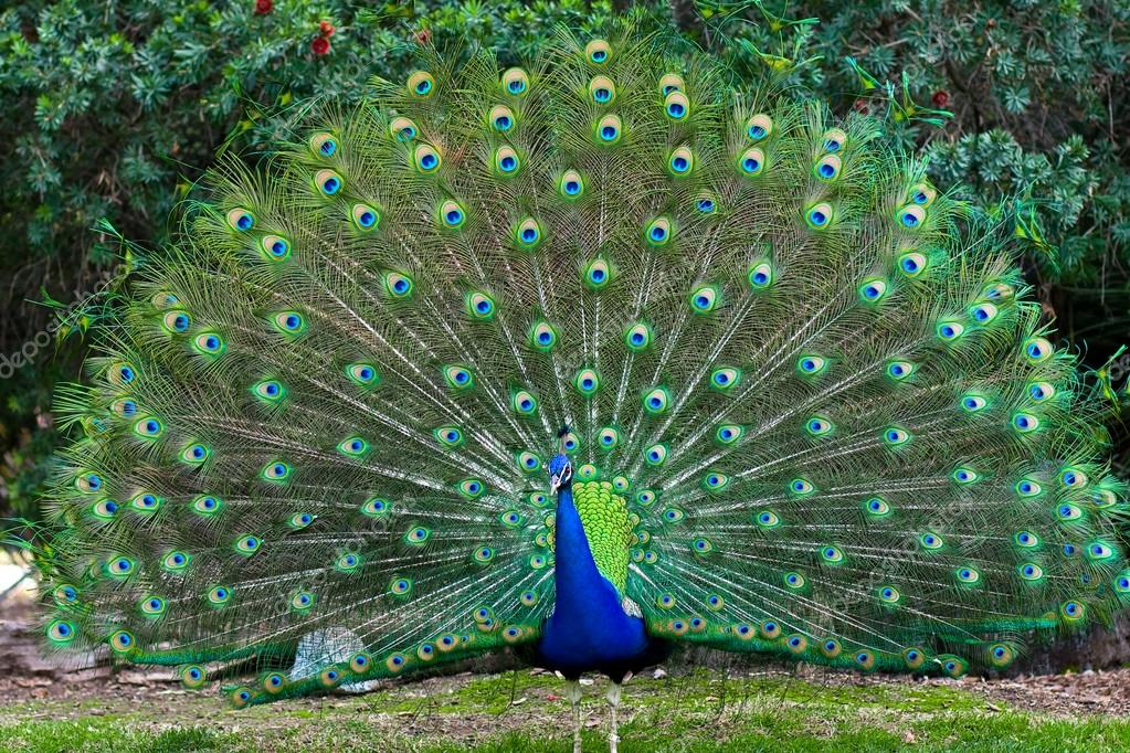 Peacock with fanned tail