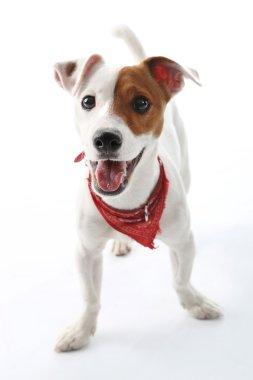 Jack Russell Terrier dog joyful