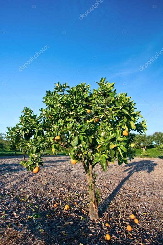 Orange Tree in Orange County, California
