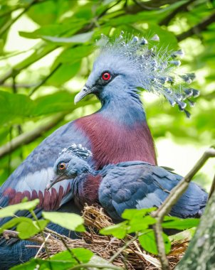 Victoria crowned pigeon and baby bird in the nest