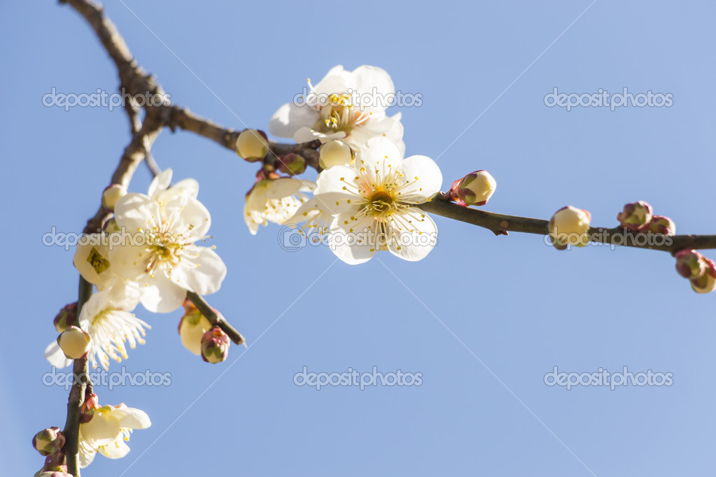 White plum blossom stock photo aduldej 42506619 white plum blossom stock photo mightylinksfo