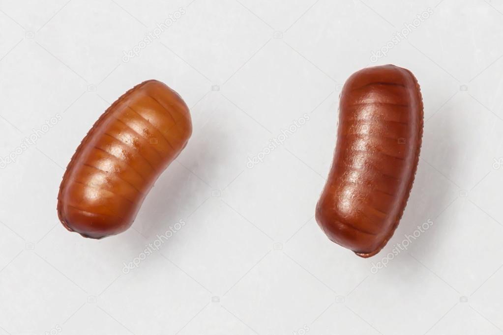 Smooth cockroach - Symploce pallens egg sacks