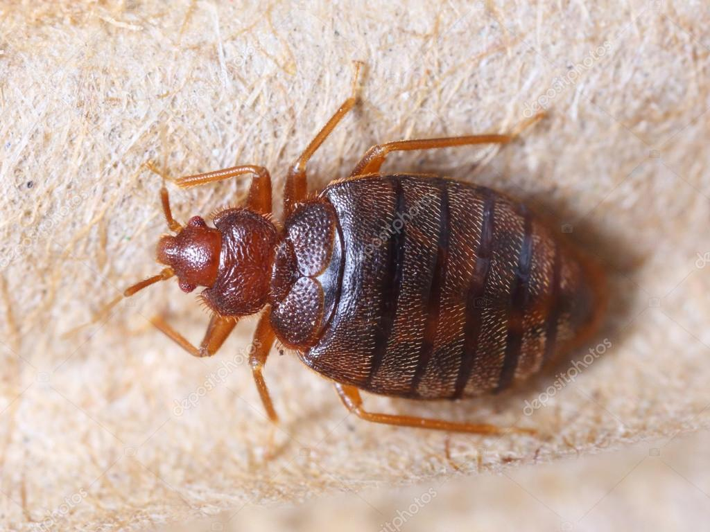 pictures of bed bugs - HD2048×1536