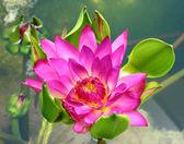 kvetoucí Lotosový květ