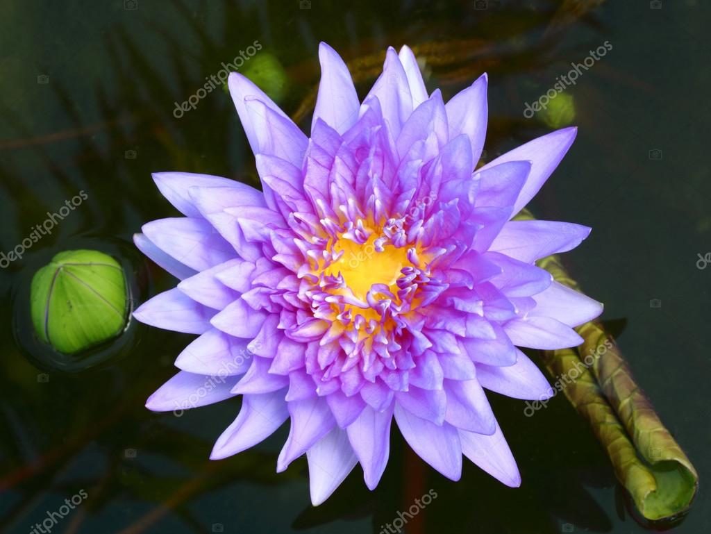 Blooming lotus flower stock photo smuayc 31735307 blooming lotus flower stock photo izmirmasajfo