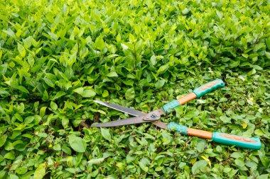 Trimming shrubs scissors