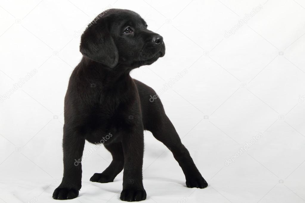 Studio portrait of a labrador puppy