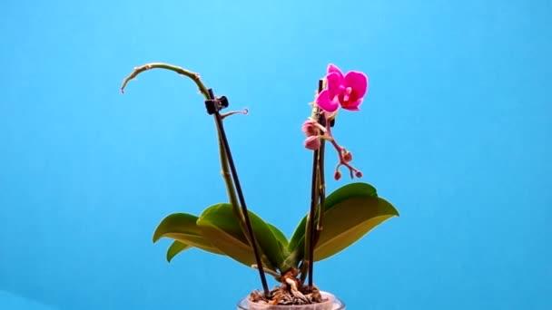 orchidej v květináč