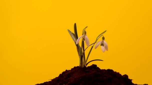 Snowdrop grown in soil