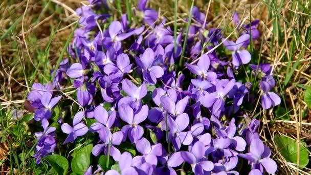 Violets flower