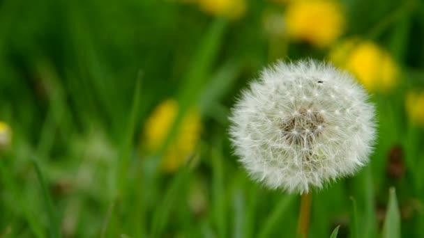 kvetoucí Pampeliška