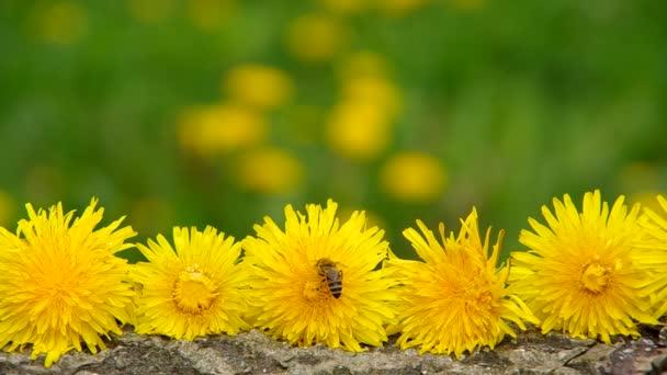méhek a sárga pitypang