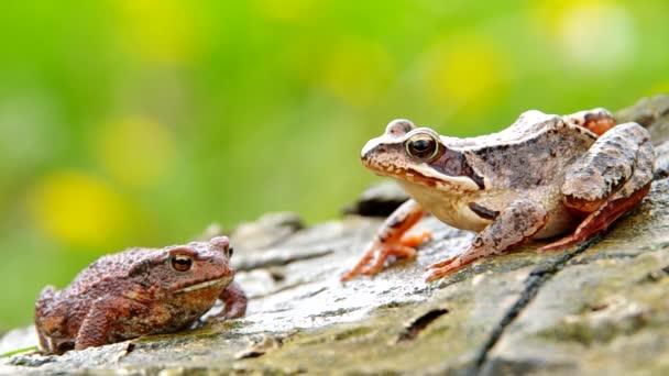 skokan zelený a žába žába
