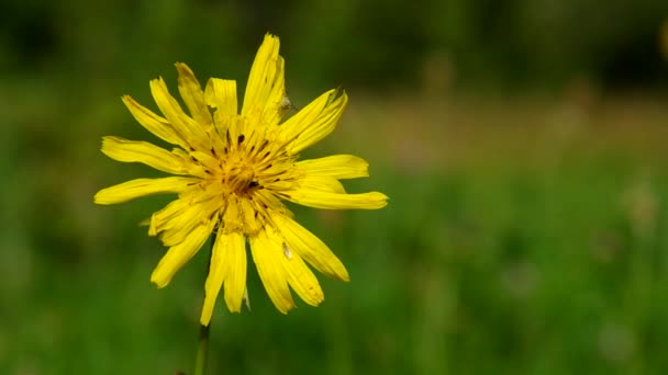 žlutá lučních květin - tragopogon pratensis