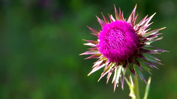 Flowery pink thistle
