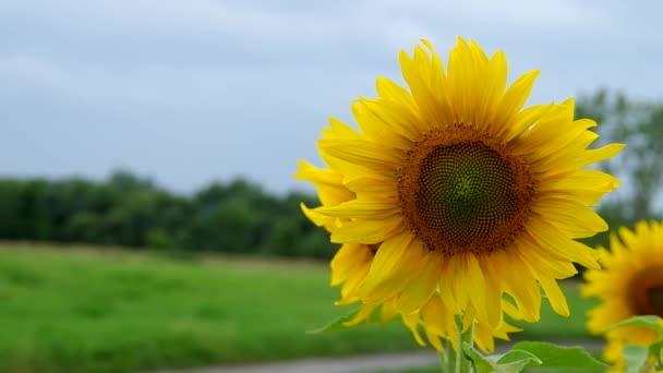 slunečnicová pole v dešti