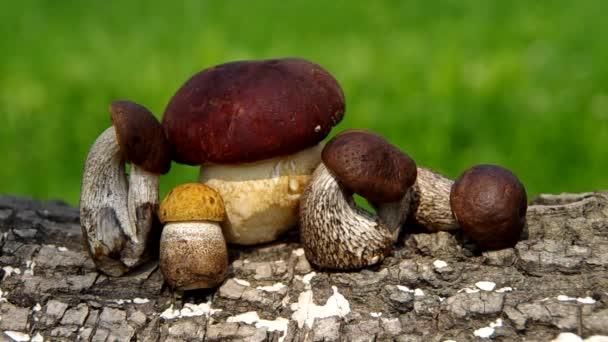 Hřib houby
