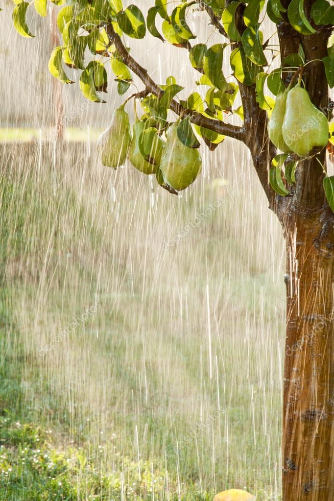A pear tree in the pouring rain. Green pear fruits with water drops on the branch. Orchard