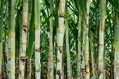 Small sugar cane