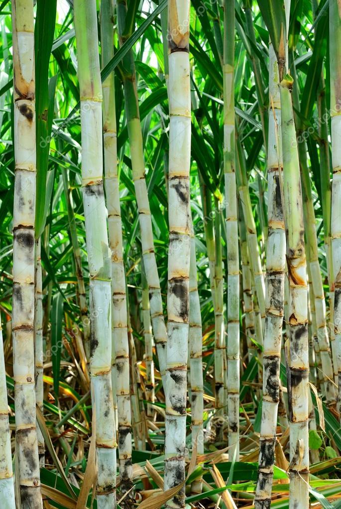 Sugar cane farm