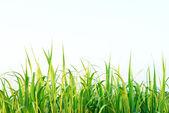 Sugar cane leaf background