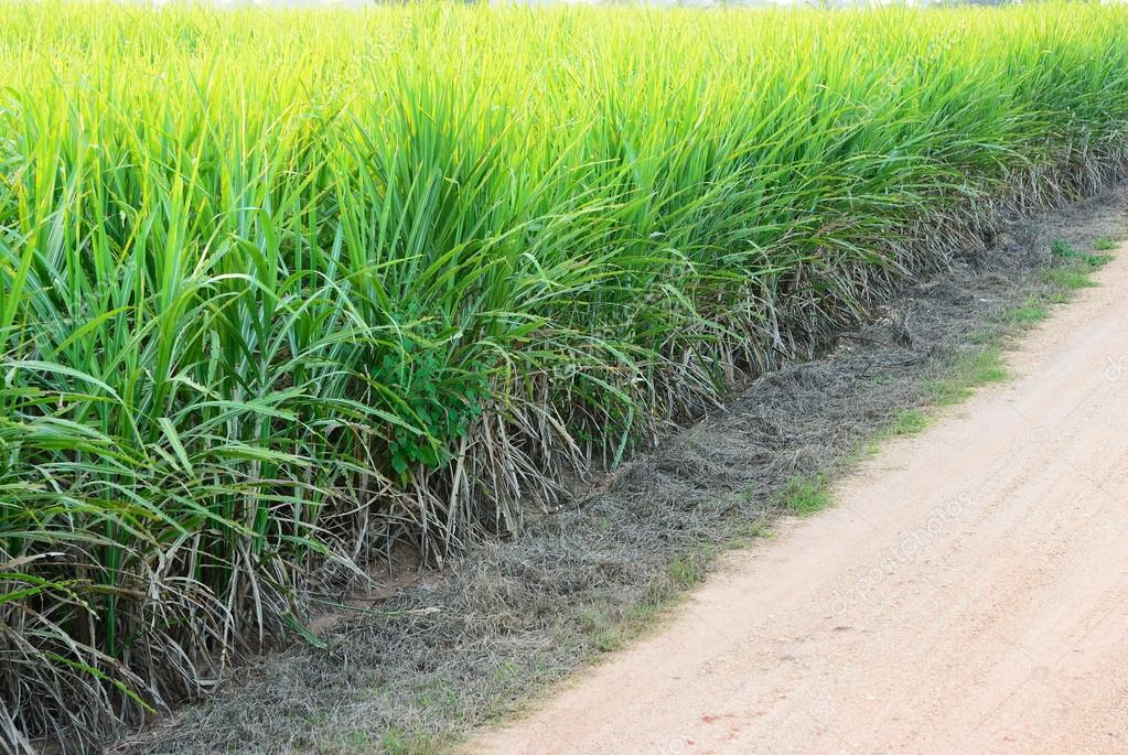 Bad sugar cane field
