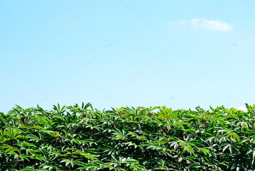 Cassava leaf background