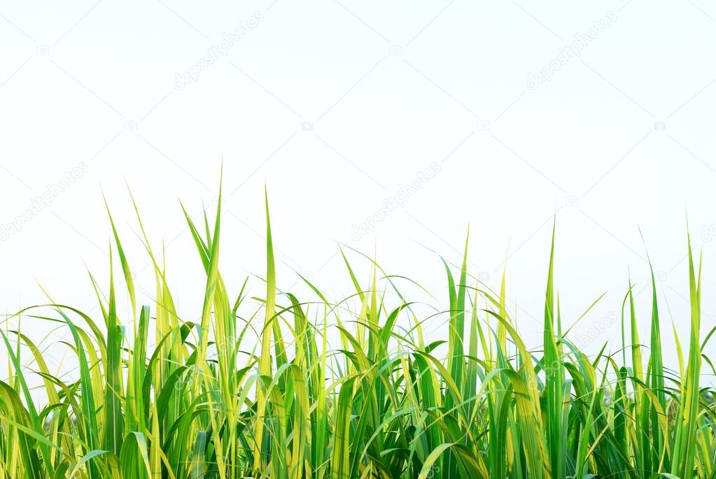 Sugar cane leaf background