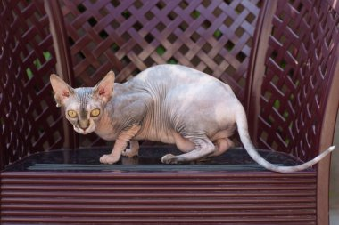 Angry Sphynx cat outdoor